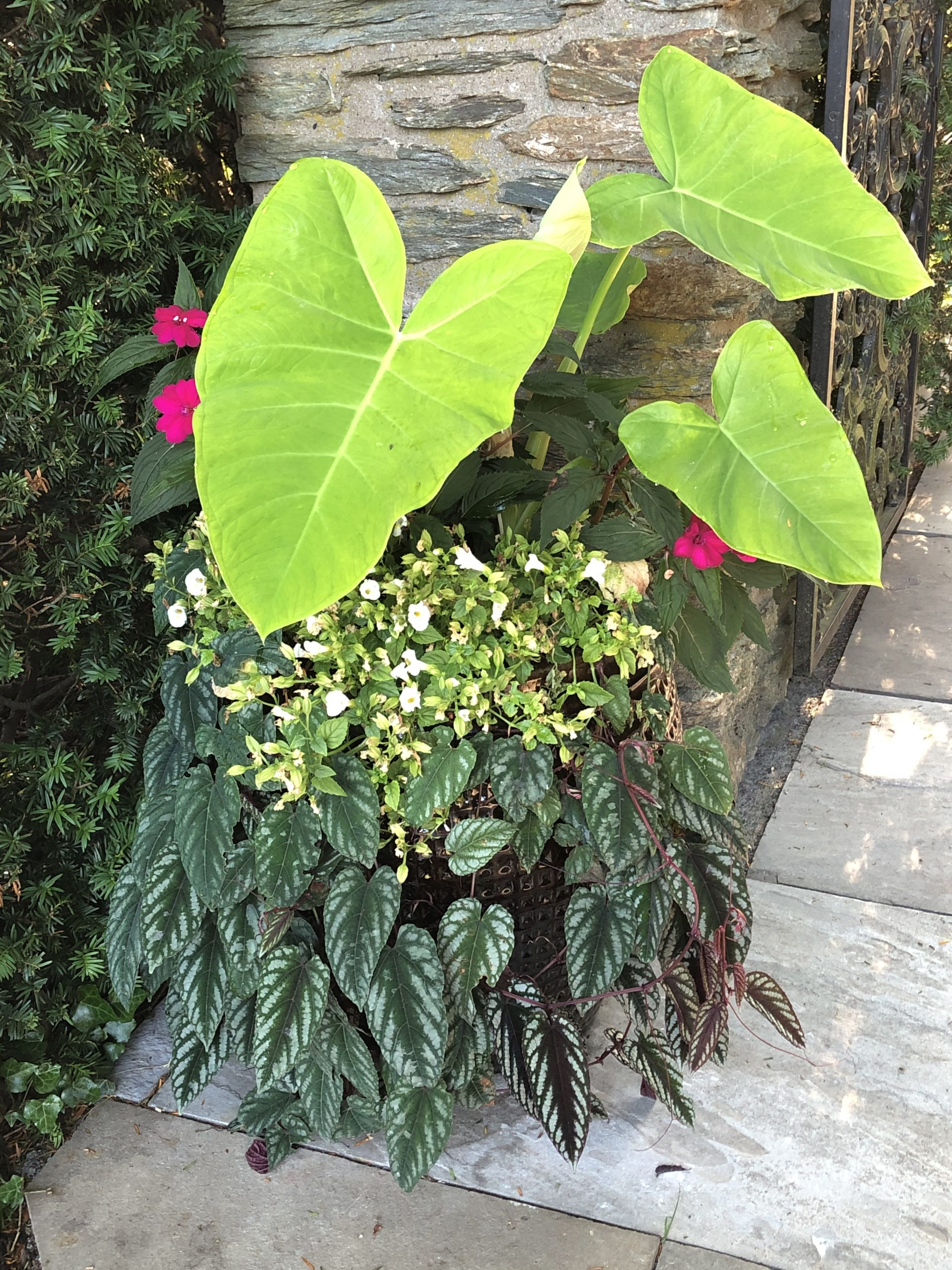 Lime Zinger Elephant Ears and Cissus vine