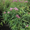Butterfly weed Swamp milkweed patches