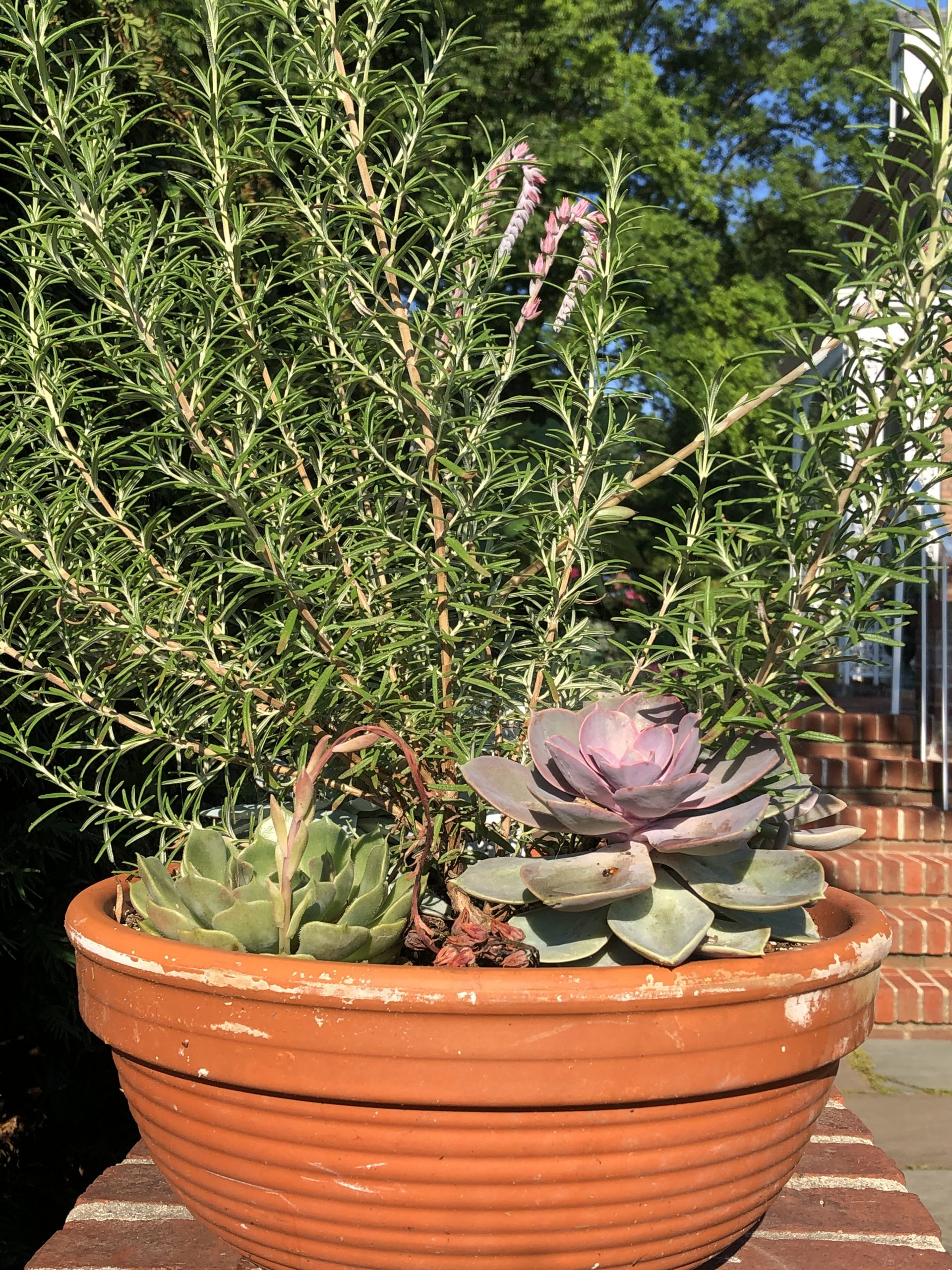 Rosemary and succulents