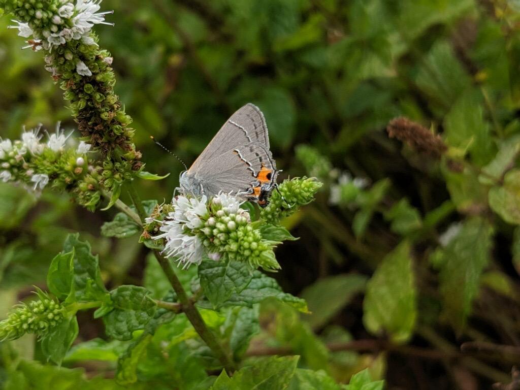 Gray Hairstreak Butterfly at Drumore Estate Wedding