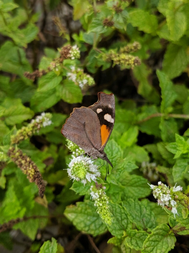 Snout Butterfly at Drumore Estate Wedding Venue