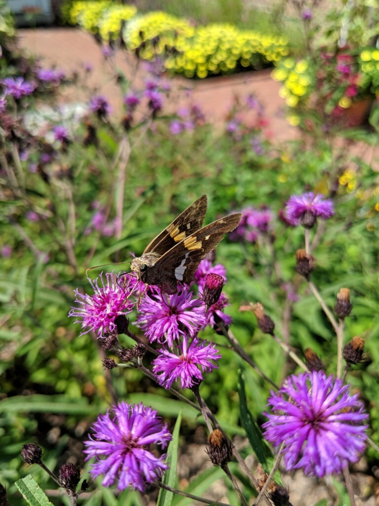 Silver-Spotted Skipper on New York Ironweed