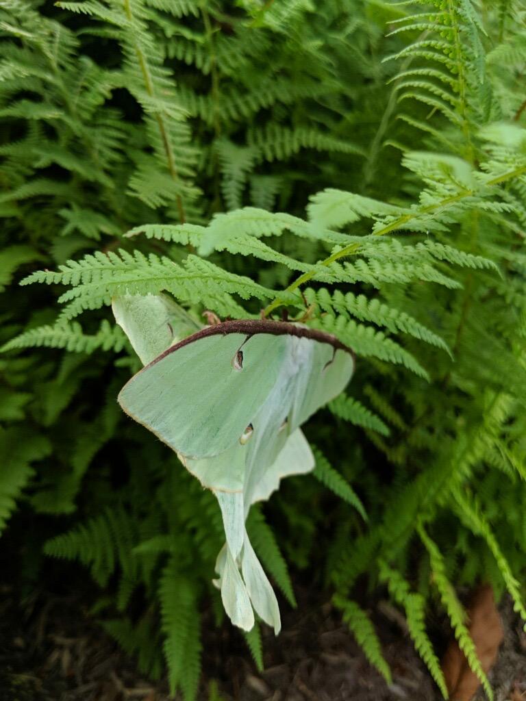Luna Moths mating on Hay-scented Fern