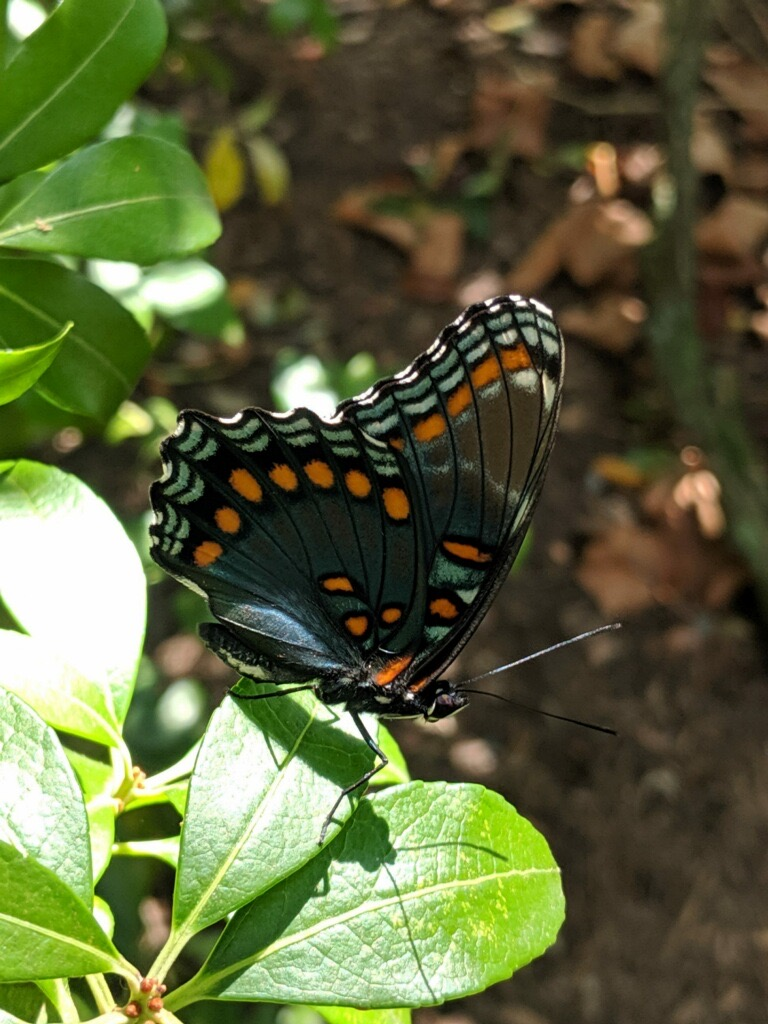 Red-spotted Purple Admiral