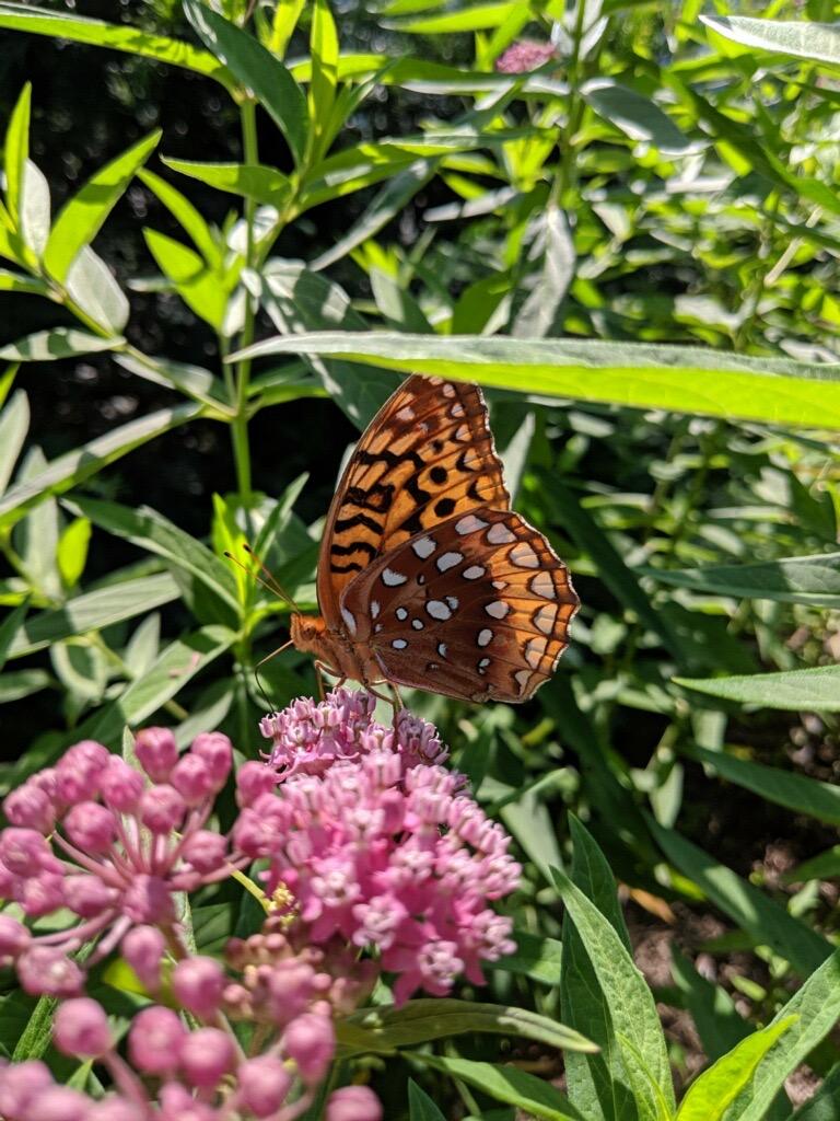 Great Spangled Fritillary on Swamp Milkweed
