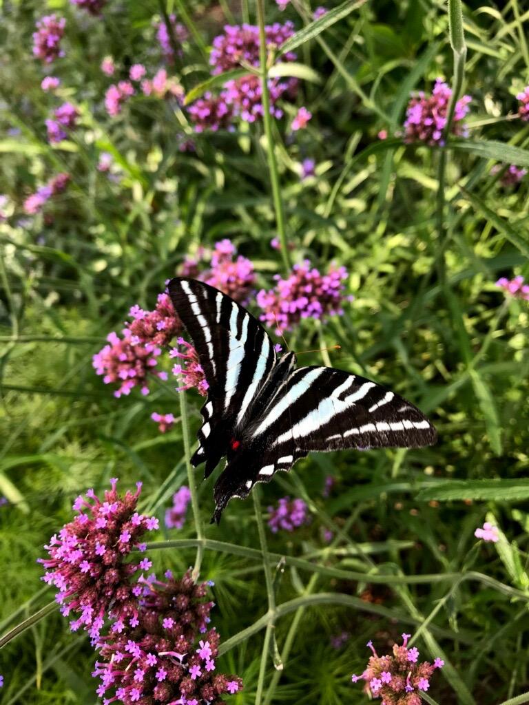 Zebra Swallowtail on Verbena