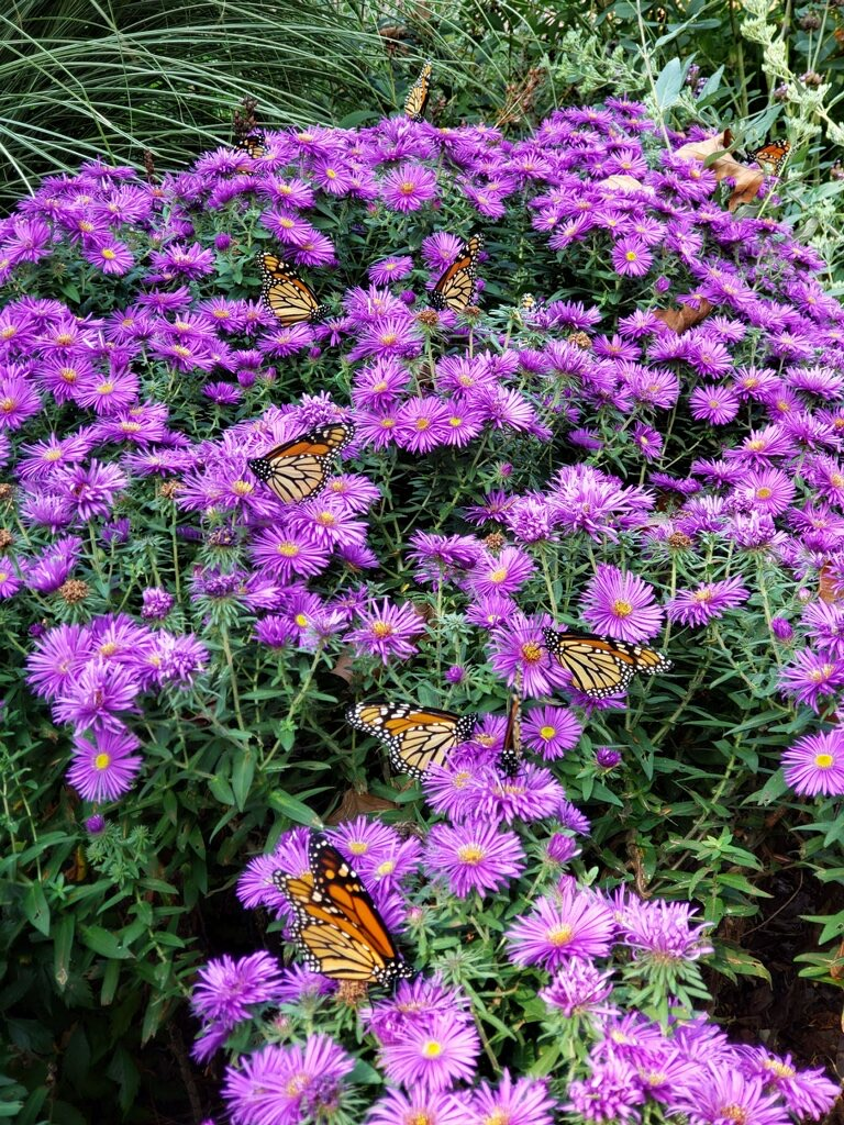 Monarchs on Purple Dome Aster during fall migration